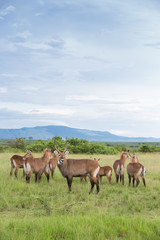 Group of antelopes