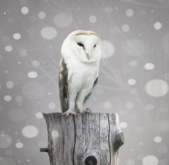 Fotobehang - Barn Owl with snow