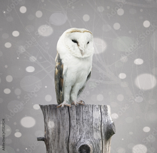 Fotomurales Barn Owl with snow