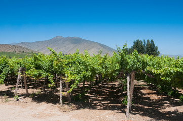 Vineyard in the Elqui valley, Chile