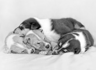Sleeping smooth haired collie puppies
