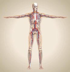 Human (male) circulation system, nervous system and lymphatic sy