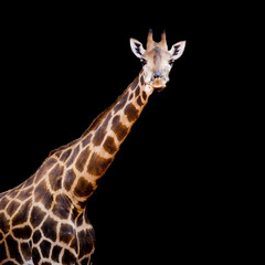 close up giraffe