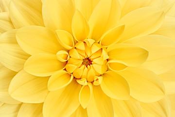 Poster de jardin Dahlia Dahlia, yellow colored flower head. Studio shooting. Background