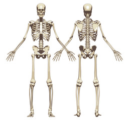 A human skeleton. Front and back view