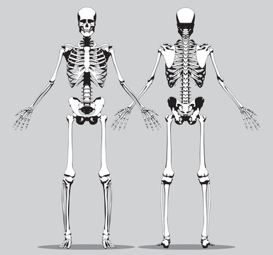 Front and back view of a human skeleton