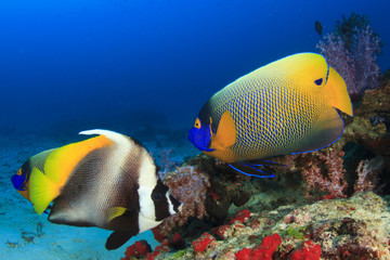 Angelfish and Bannerfish