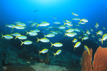 Shoal Fusilier fish