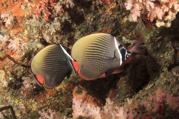 Pair Butterflyfish