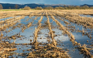 Flooded corn field