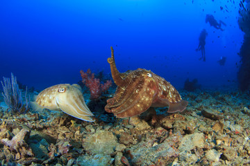 Cuttlefish mating and scuba divers