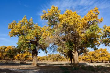 flourishing populus in north China
