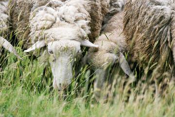 Close up of sheep eating grass