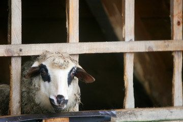 Close up of sheep in farm stable