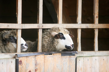 Close up of sheep in stall