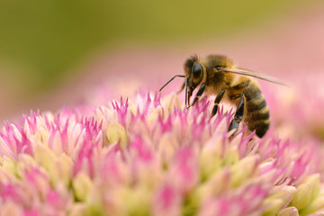 Honey bee feeding on sedum flower