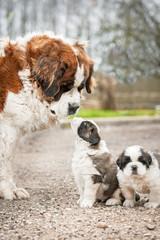 Wall Mural - Saint bernard dog with puppies