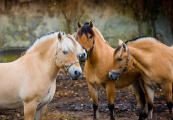 Fiord horses