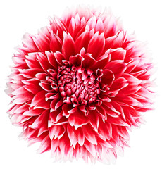 Dahlia, red, white colored flower head. Background