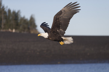 American Bald Eagle flying in the area of Homer Alaska