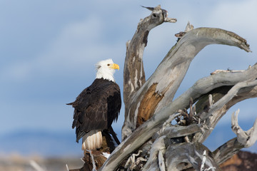 American Bald Eagle Perched on dead tree in Homer Alaska