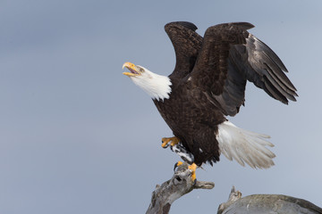 Magestic Bald Eagle on Perch in Homer Alaska