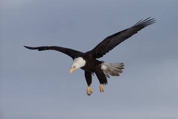 American Bald Eagle landing near Homer Alaska