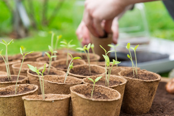 Obraz Young Seedlings in jiffy pots - fototapety do salonu