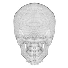 skull and cervical vertebrae