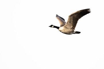 Wall Mural - Canada Goose Flying Against a White Background