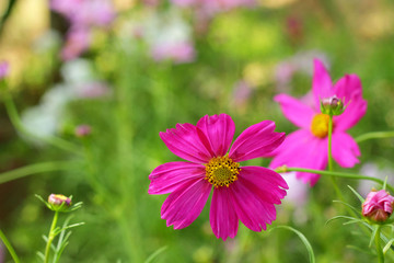 pink cosmos flowers in the nature