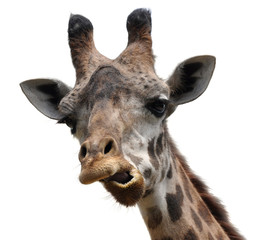 Funny animal portrait of a giraffe with an unusual face