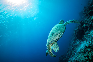 Green sea turtle swimming in Derawan, Kalimantan underwater