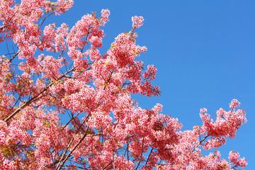 Thai Sakura flower, Chiang Mai Thailand