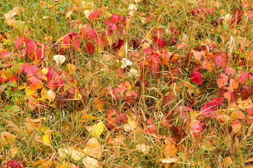 Wet autumn leaves after rain on ground
