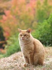 紅葉をバックにした茶トラ猫