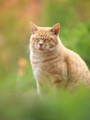 目を瞑る茶トラ猫