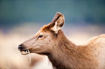 North American elk cow