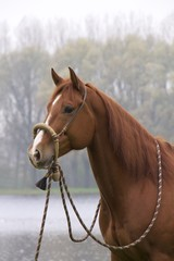 Horse Dutchy