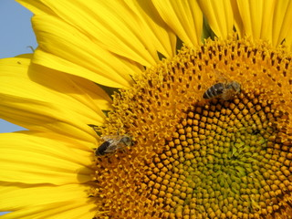 Close up of sunflower and bees