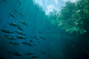 Schooling fish in Derawan, Kalimantan, Indonesia underwater.