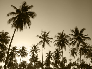 Palm trees in sepia tone. Brazil