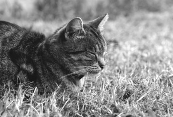 Black and white photo of sleeping cat on a grass