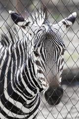 zebra in the zoo