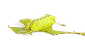 Nettle caterpillar (Parasa Lepida)