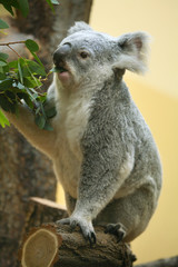 Koala (Phascolarctos cinereus) eating eucalyptus leaves..