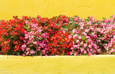 Begonia flower orange background