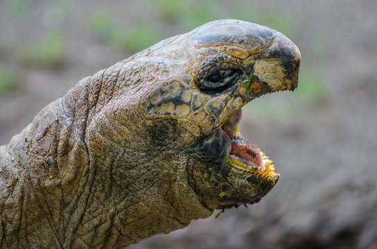 Aldabra Tortoise with Open Mouth