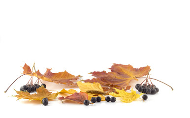 Rowan berries on the autumn leaves on a white background