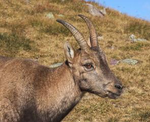 Stambecco delle Alpi (Capra ibex) - Primo piano